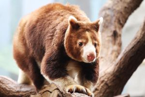 Tree-Kangaroo by Saromei