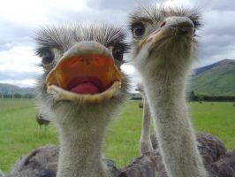 Open Mouthed Ostrich by AndySerrano