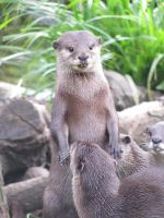 More Otters by M-Knowler