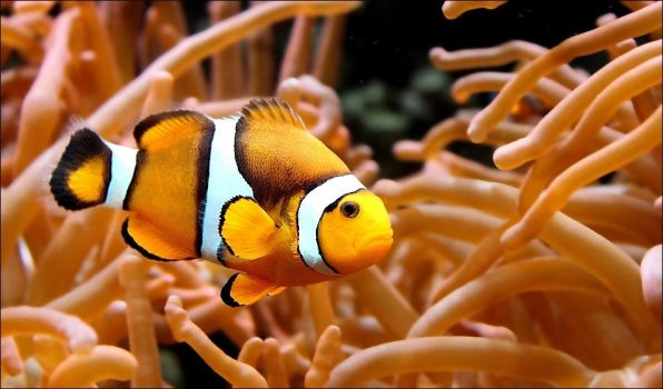 Amphiprion. by Evey-Eyes