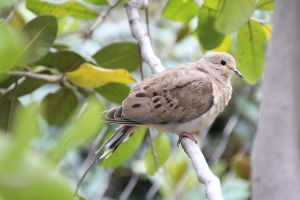 Brown Dove by amm081