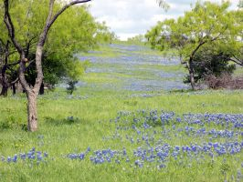 River of bluebonnets by MollyMcMolly