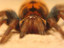 chromatopelma cyanopubescens by kocoma