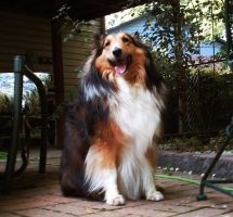 Sheltie by ElecoMoroco