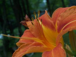 Orange Lily in the Afternoon by jstan714