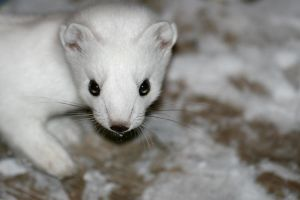 Close up of arctic weasel by Arctic-Stock