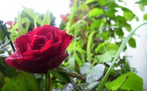 Red Rose in the rain by Cia81