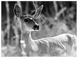 Deer in BW by I-Heart-Photos