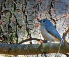 Tufted Titmouse 2 by euphoricmadness