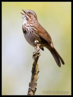 Song Sparrow by AlexCphoto