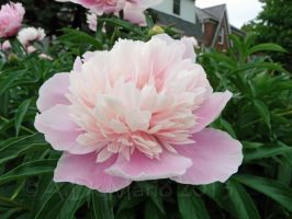 Pale peony by dreamingshadow18