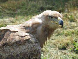 Bird of Prey 18 by pduffill