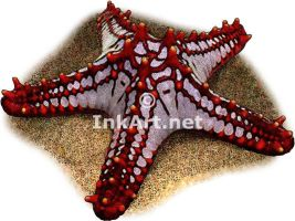 Red-Knobbed Starfish by rogerdhall
