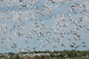Sandwich Tern Rookery by weddige