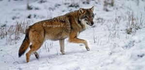 Wolf V by moem-photography
