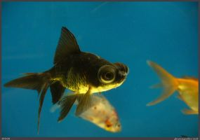 Fish Stock 0059 by phantompanther-stock