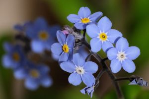 Close Forget-me-nots by WestLothian