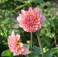 awesome dahlias 16 by ingeline-art