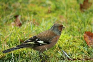 Finch 2 by jochniew