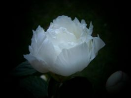 A White Rose by J3sca