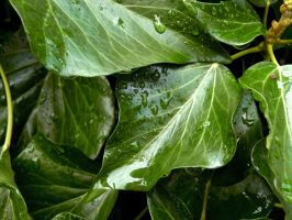 Watery Ivy. by sophhks