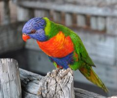 Lory 2 by acors