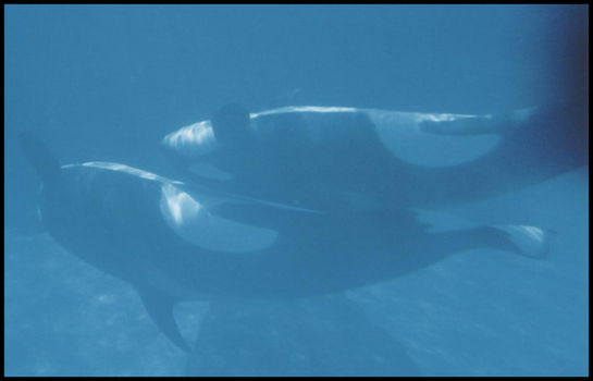 Killer Whale 0011 by JS-Creations