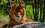 The Dhole II by PictureByPali