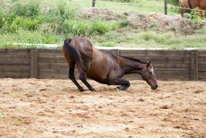 KM Old TB kneeling about to roll side view by Chunga-Stock