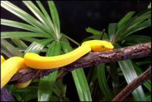 Zoo - Yellow Snake by kessalia