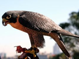 Bird 2_Peregrine Falcon-Stock by Inadesign-Stock