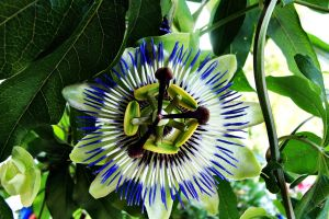 Blue Passion Flower by Ewilyn