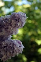 Lilac blossoming stock #14 by croicroga