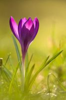 Crocus 2 by Kaasik91