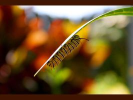 Wallpaper - Danaus plexippus by emailandthings
