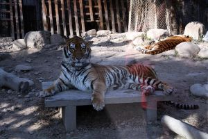 Tigers by China-stock
