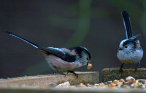 Long Tailed Tit - save some fo me by Steve-FraserUK