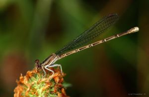 Damsel Fly by natureguy