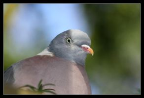 the humble wood pigeon by saffi9