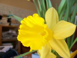 Another daffodil close-up by eltitere