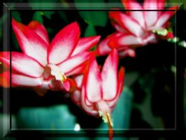Christmas Cactus 3 by Kalooeh
