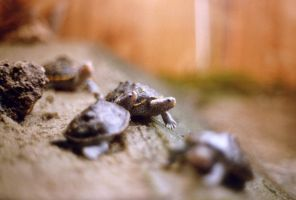 Tiny Baby Turtles by enigmotion
