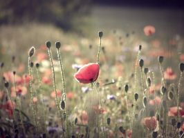 Coldplay - Poppy Fields by zahipnotyzowanaxD