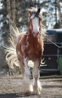 Clydesdale by Paabel