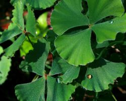 Clover dew drops by siobhanleigh