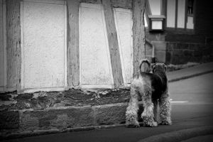 Curious Airedale by Kaddieee