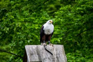 African Fish Eagle 04 by blackkurai