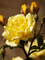 The Yellow Rose Parade 3 by mohaganbev