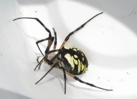 Argiope Black/Yellow - Spider Stock by FrostBo