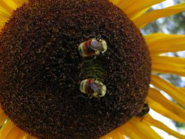 2 Bees on a Sunflower - Close by Cyberpriest